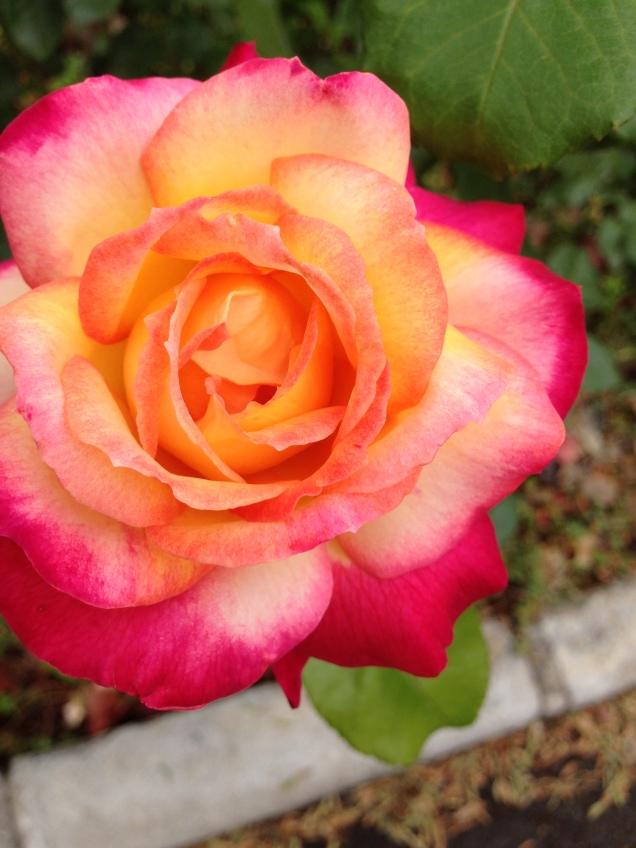 Giganstiska vackra rosor i vår trädgård i Nerja i Spa