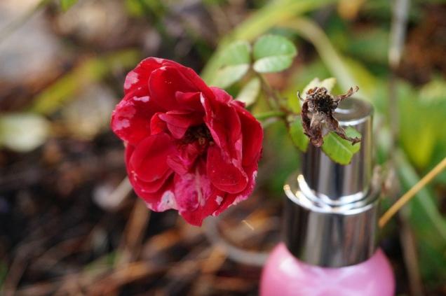En röd frusen ros i min trädgård på 4:e advent