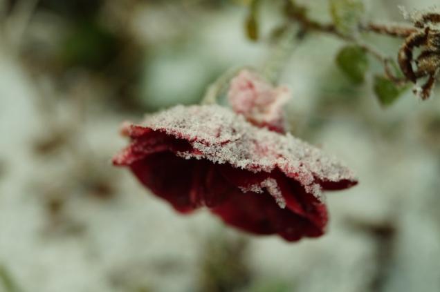 Min lilla festliga ros med frost på sig